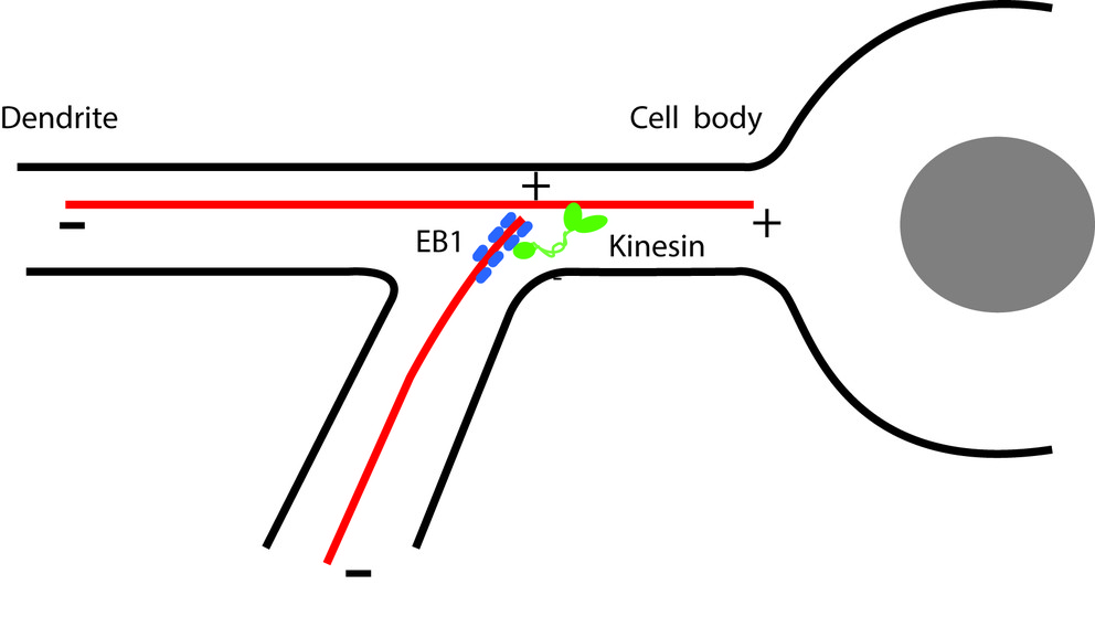 complex consisting of end-binding protein 1 (EB1) and a kinesin molecular motor