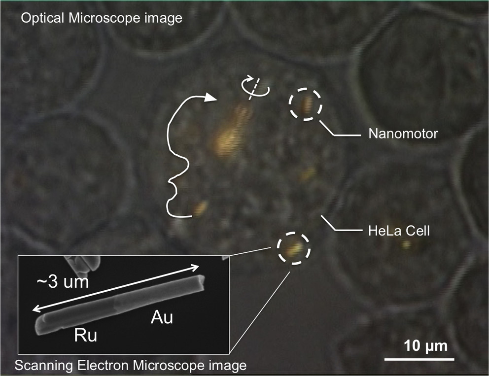 Optical microscope image of a HeLa cell containing several gold-ruthenium nanomotors